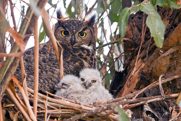 Horned Owl with two babies